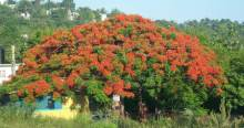 Poinciana (Delonix Regia) otherwise known as Fire tree, Flame tree, Flame of the Forest, or Flamboyant.