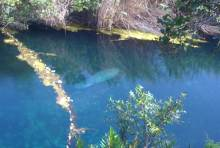 Manatees swimming in the Manatee Sanctuary near Gut River