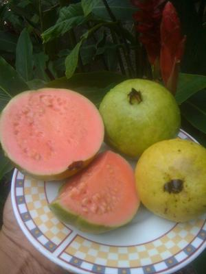 Beautiful and Delicious Jamaican Guavas<br>Click on other photo to emlarge