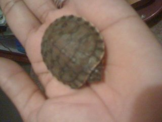 Jamaican Red Eared Slider Turtle Hatcling